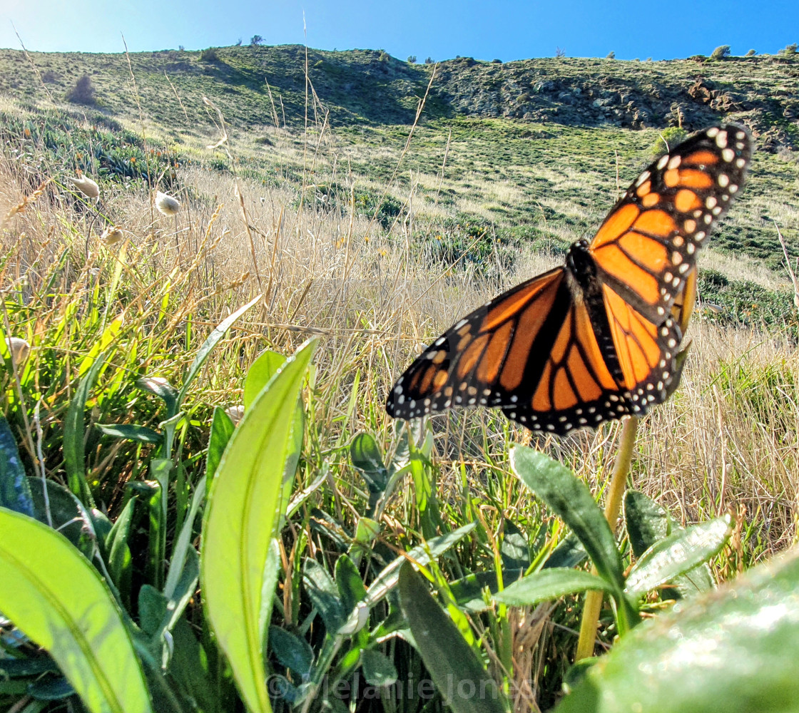 """Monarch butterfly Fleurieu Peninsula"" stock image"