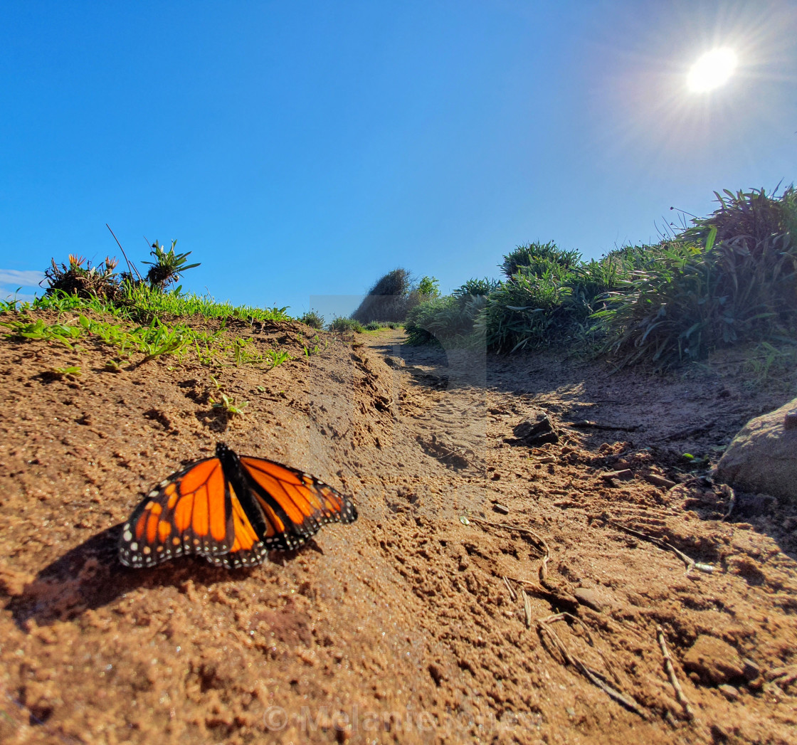 """Butterfly on Carrickalinga walking track"" stock image"