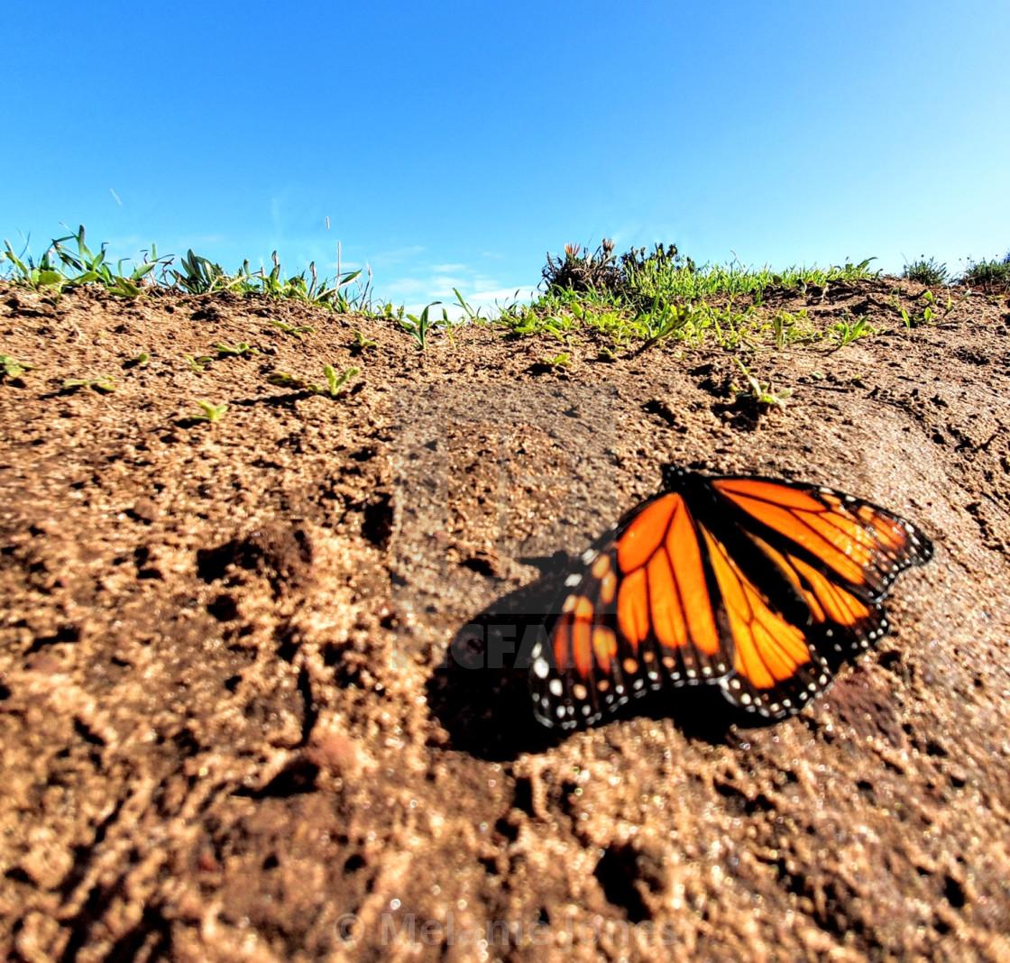 """Autumn Monarch Butterfly Fleurieu Peninsula"" stock image"
