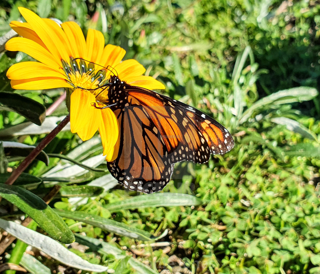 """""""Monarch butterfly on yellow flower"""" stock image"""