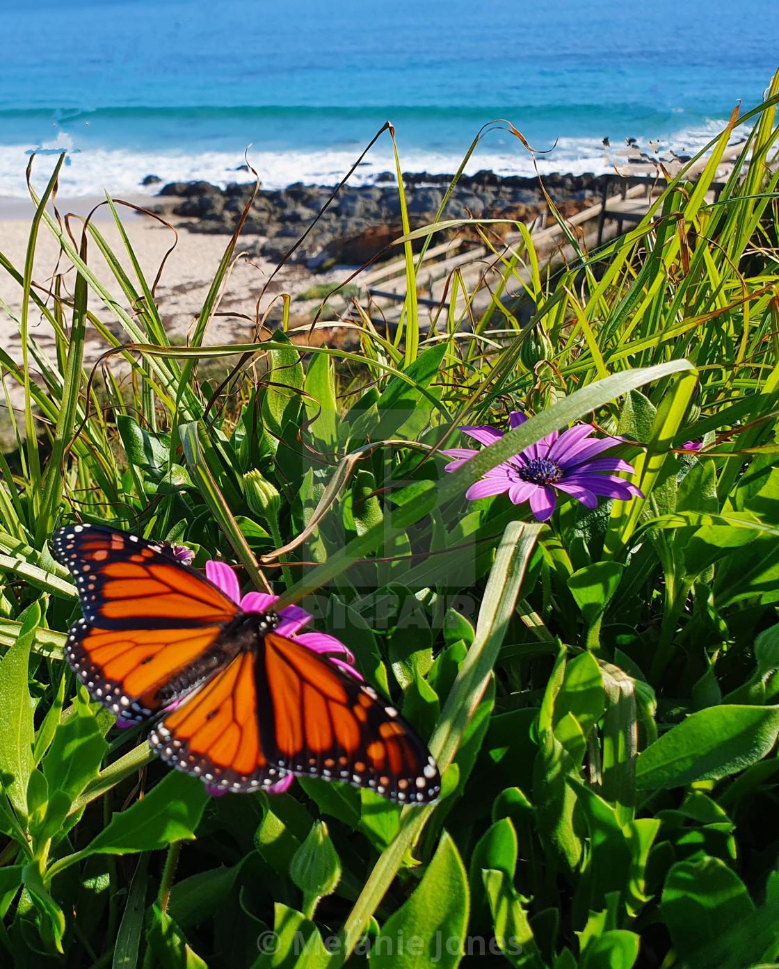 """Monarch Butterfly at Carrickalinga beach"" stock image"