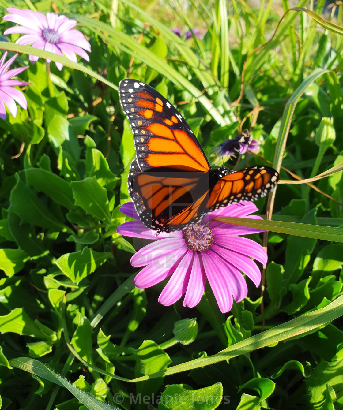 """Monarch butterfly on purple flower"" stock image"