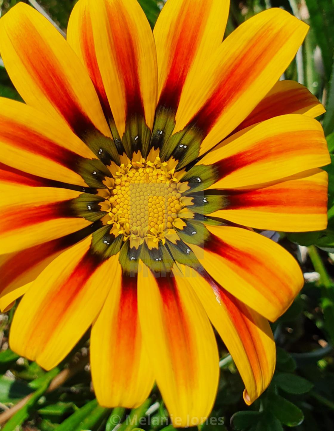 """Red and yellow flower Fleurieu Peninsula"" stock image"
