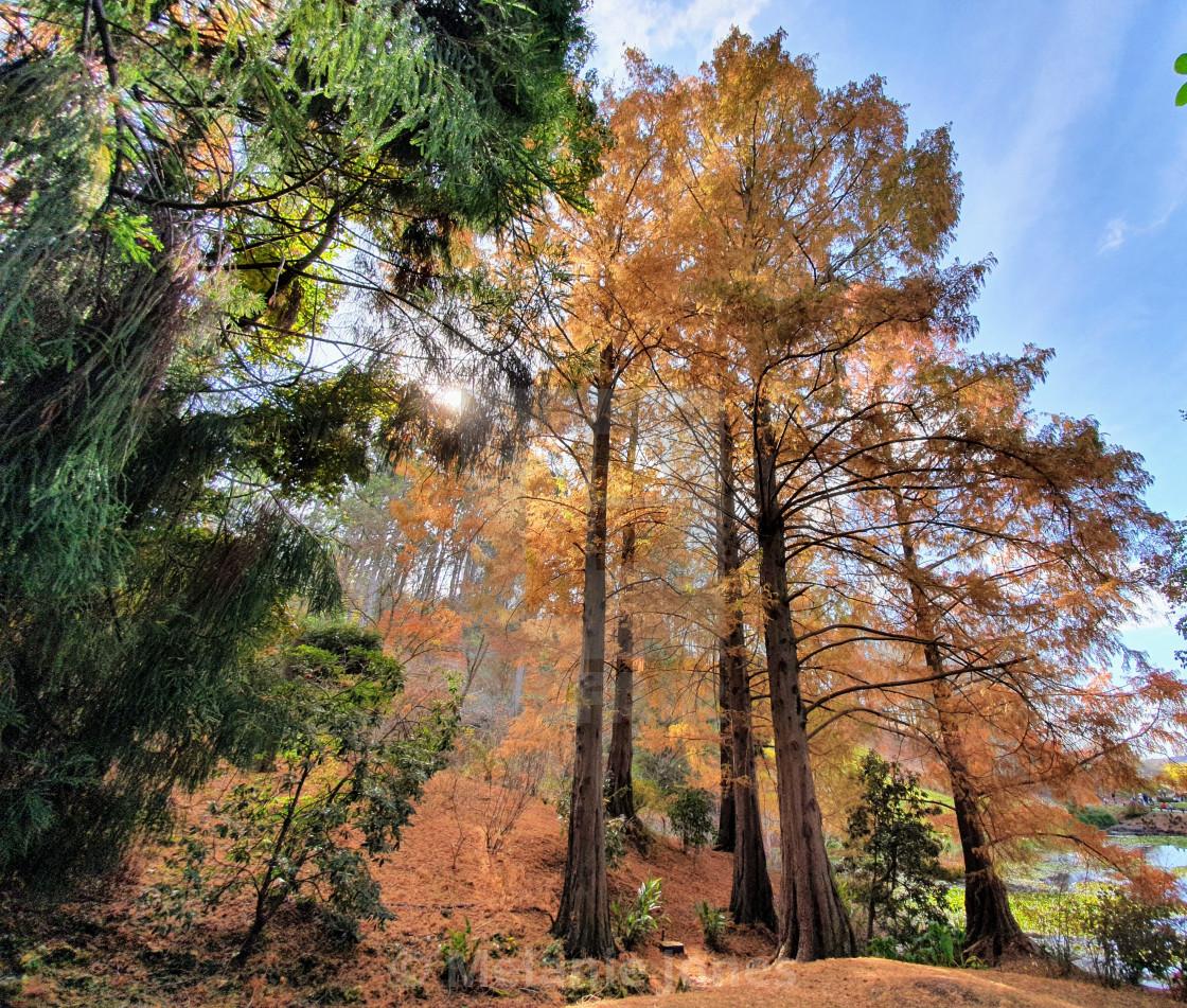 """Big Autumn trees mount lofty SA"" stock image"