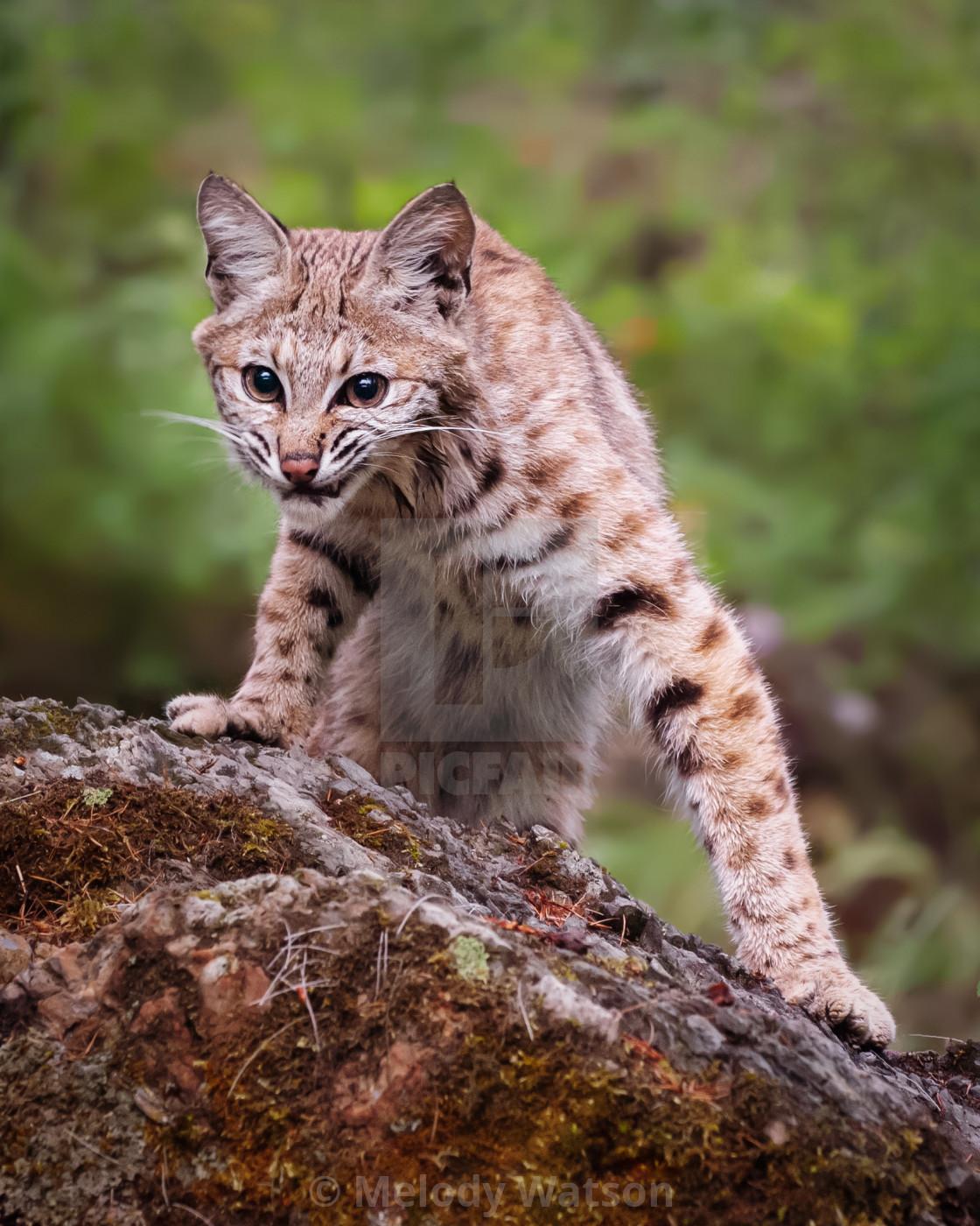 """Young Bobcat"" stock image"