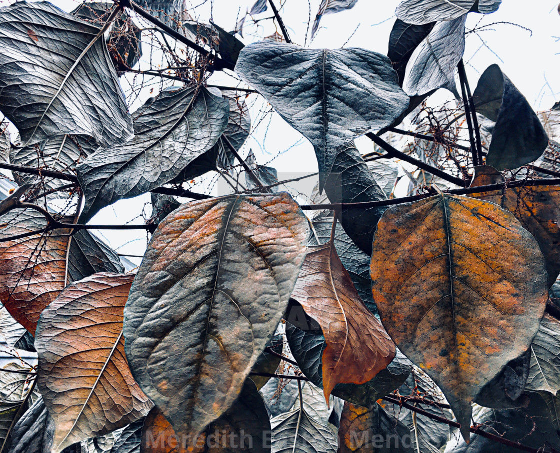 """""""Leaves turning color"""" stock image"""