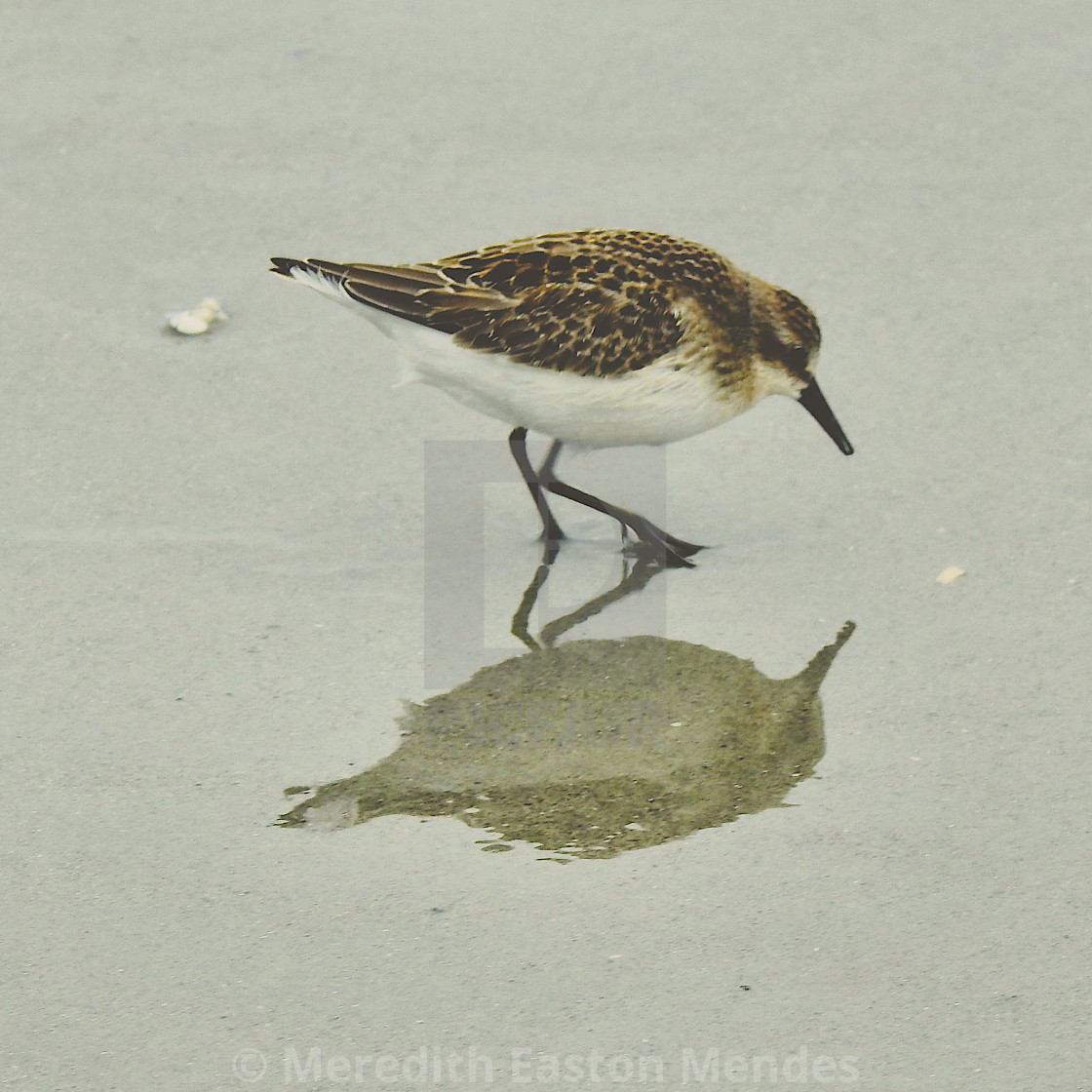 """""""Plover and Its Shadow"""" stock image"""