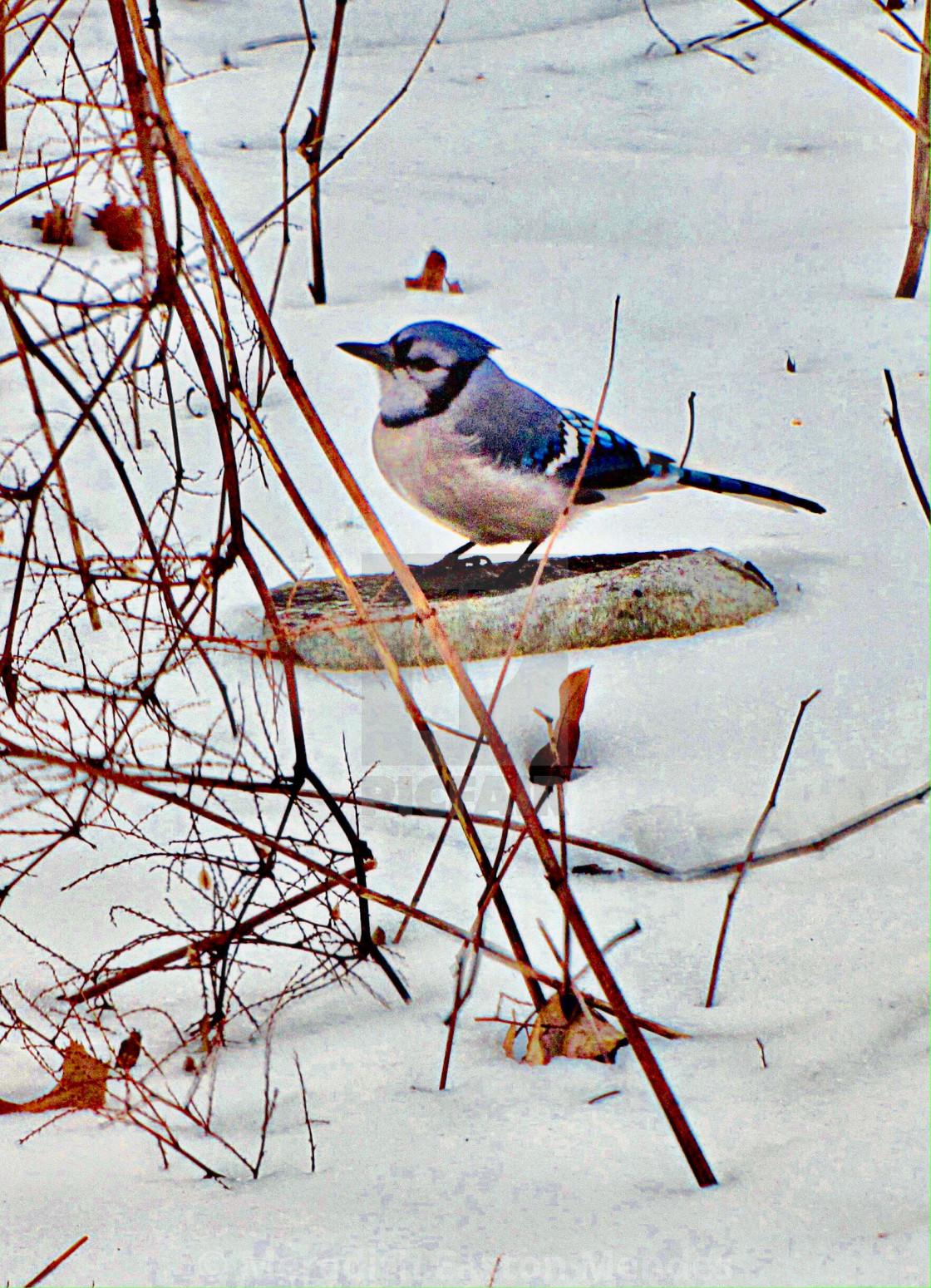 """Blue Bird in the Snow"" stock image"