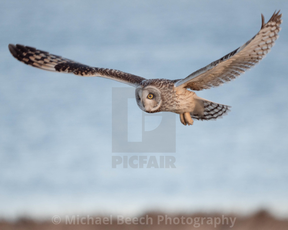 """Short-eared owl in flight."" stock image"
