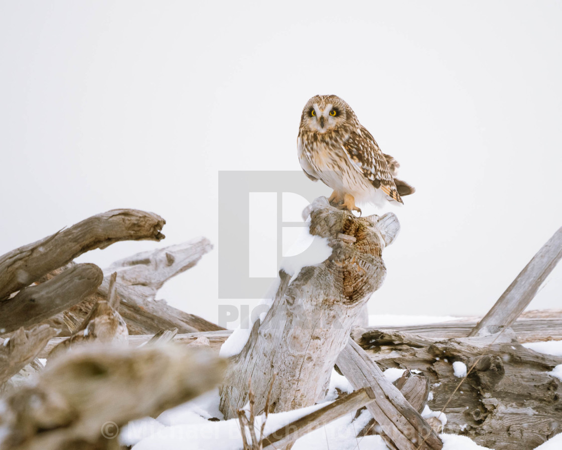 """Driftwood Shortie in snow."" stock image"