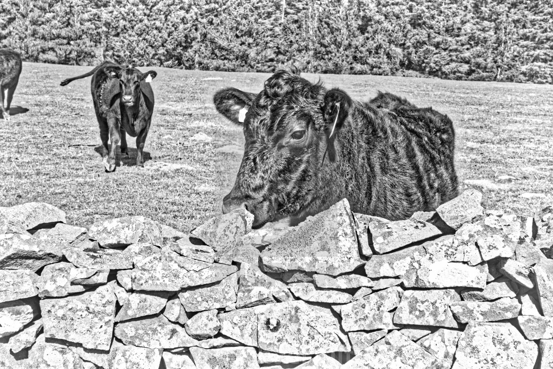 """""""Cows looking over a wall."""" stock image"""