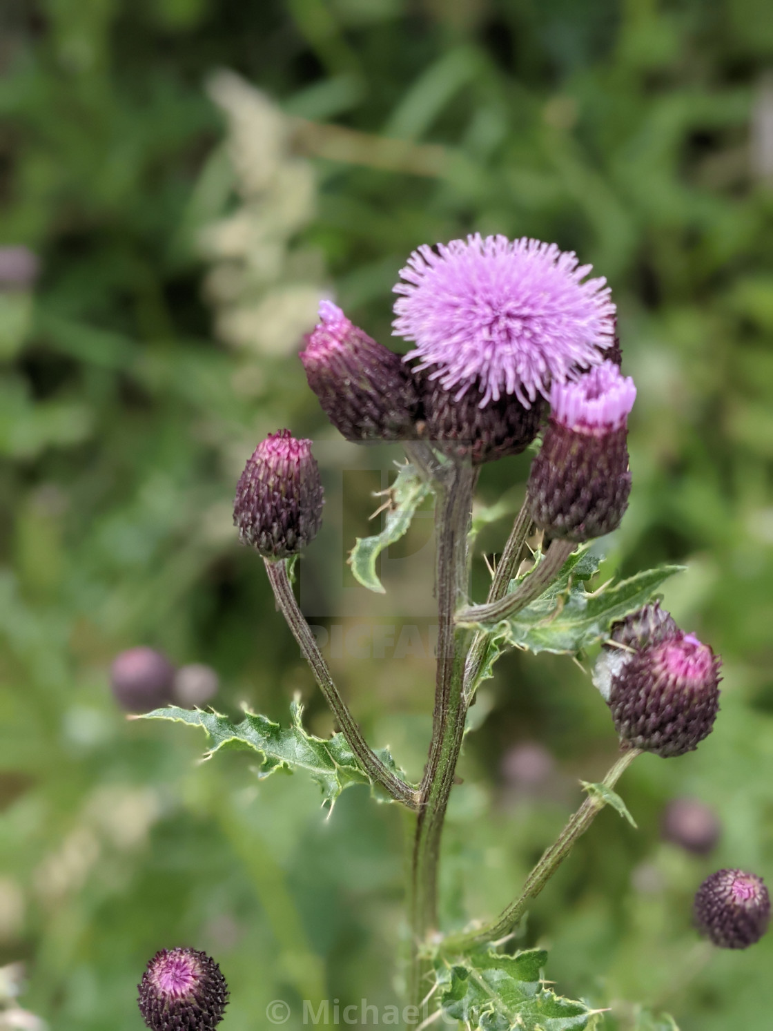 """""""Field Thistle."""" stock image"""