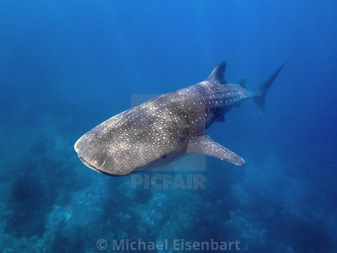 """Whale Shark"" stock image"