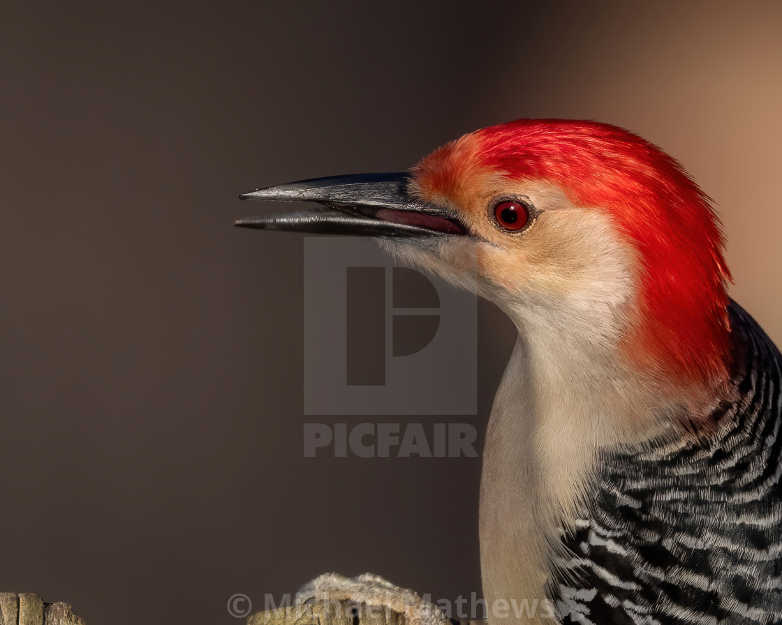 Male Red-bellied Woodpecker Portrait