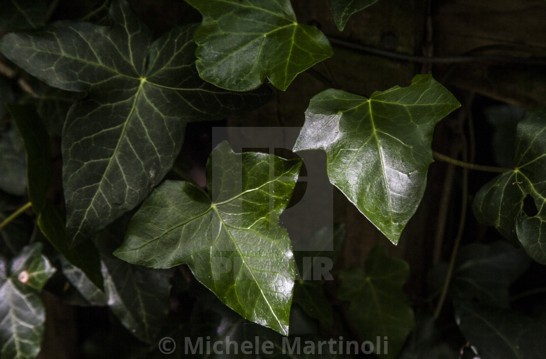"""Ivy leaves"" stock image"