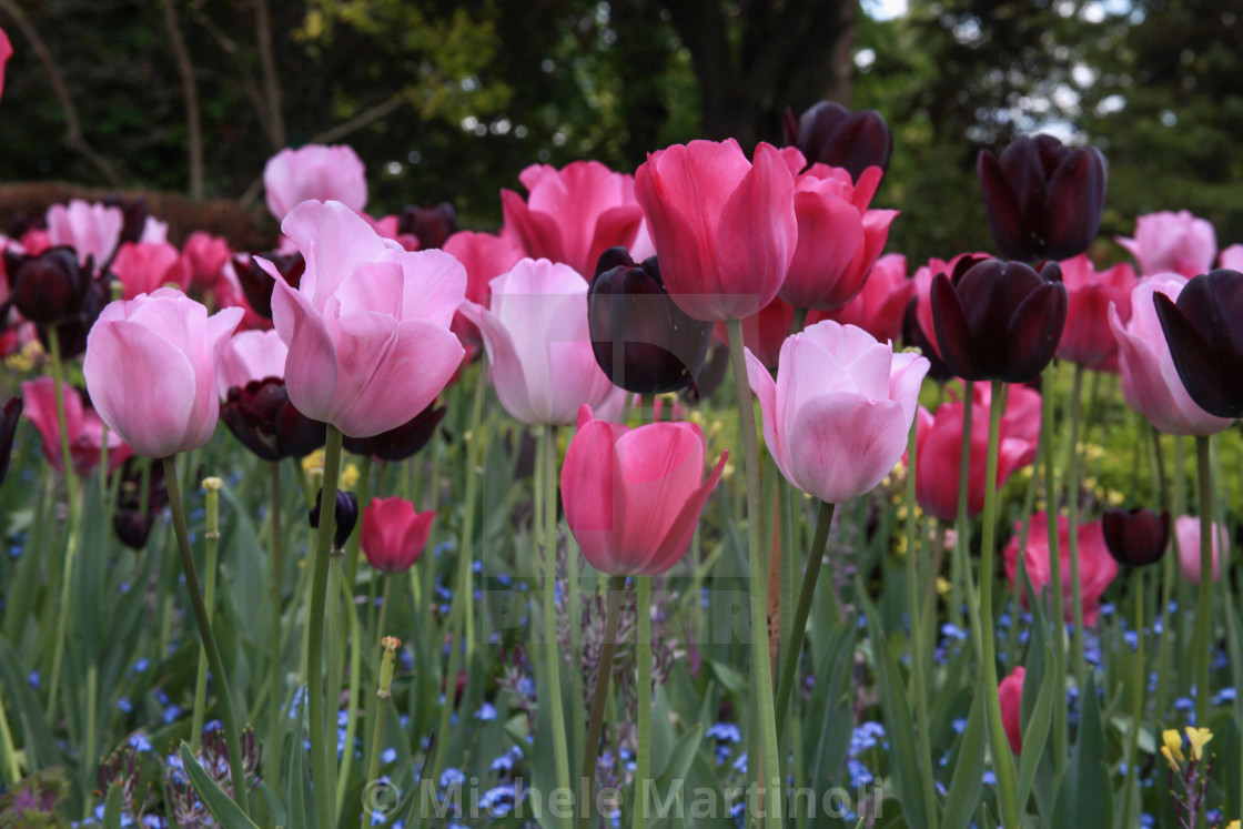 """Tulips with stems"" stock image"