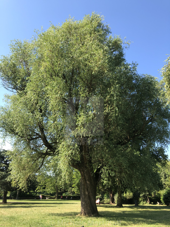 """Single stunning tree"" stock image"