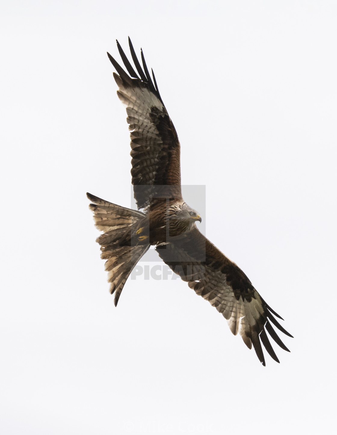 """""""Red Kite looking for food"""" stock image"""