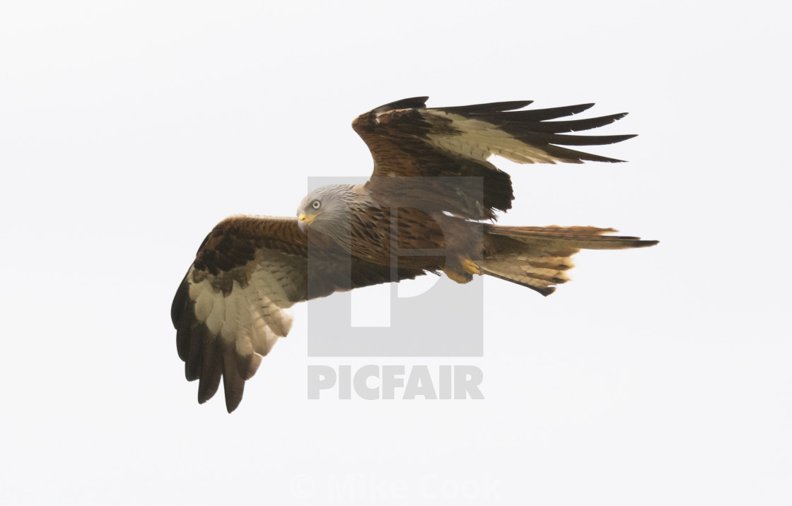 """""""A Red Kite"""" stock image"""