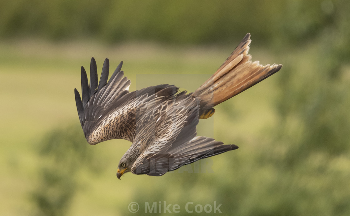 """A Red Kite in flight"" stock image"