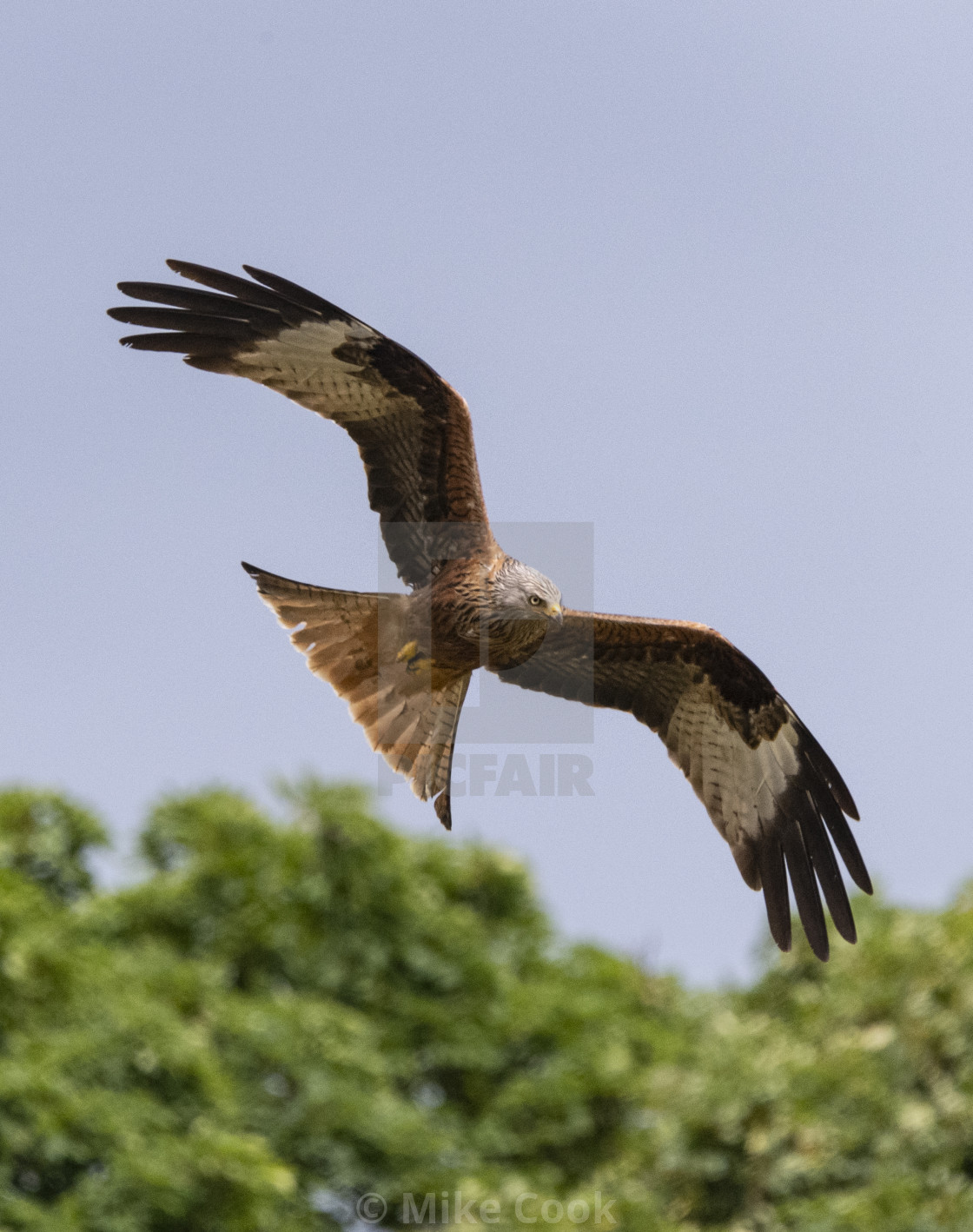 """A Red Kite"" stock image"
