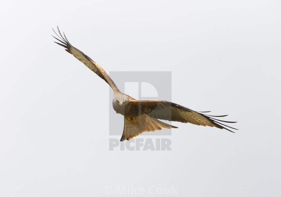 """""""A Red Kite."""" stock image"""
