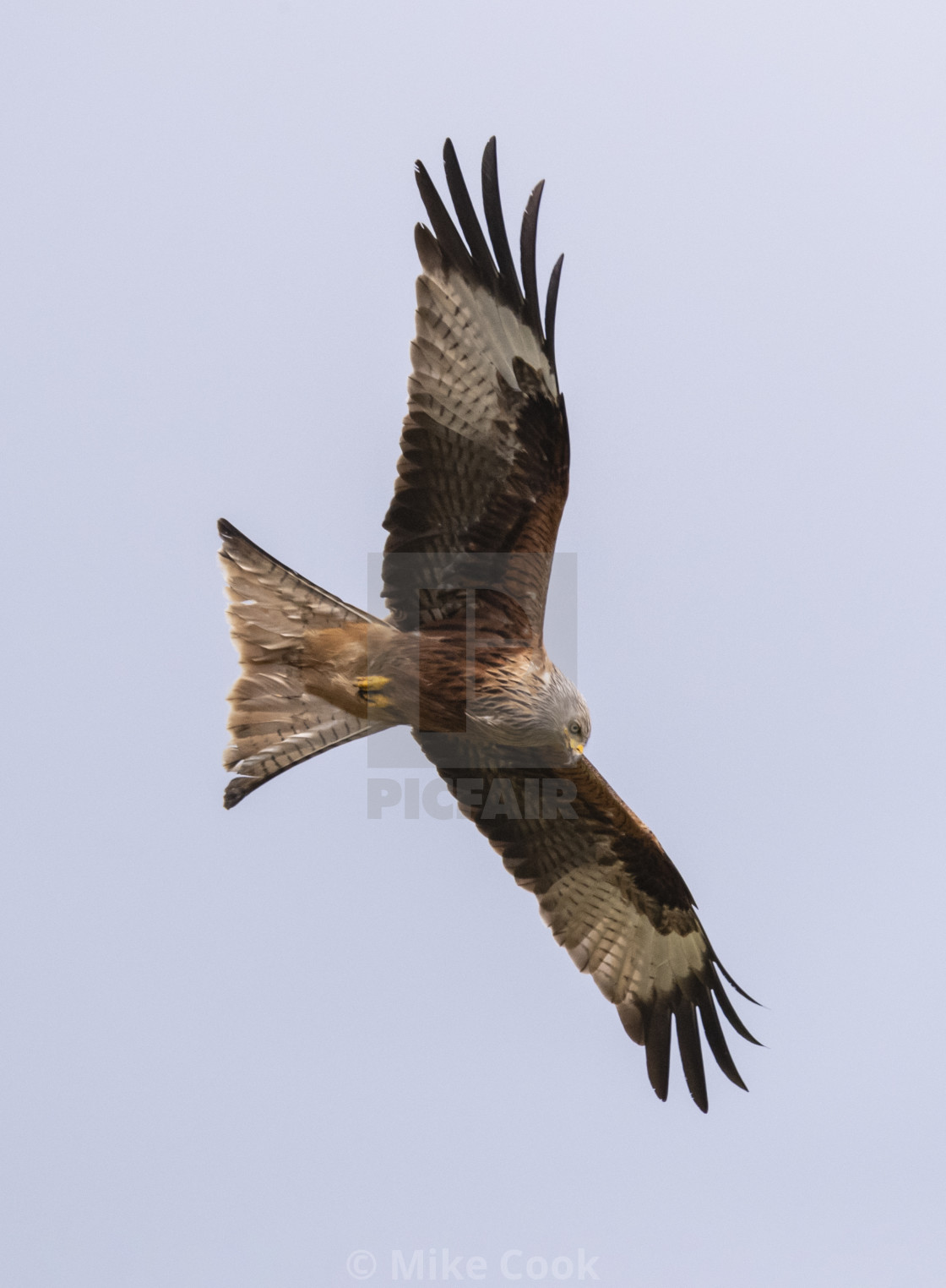 """""""A Red Kite hunting."""" stock image"""
