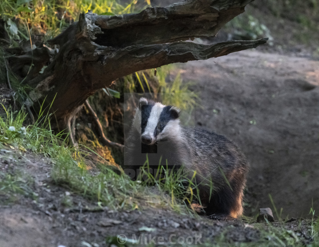 """""""Badger."""" stock image"""