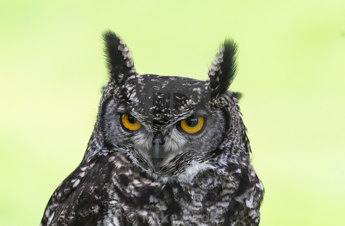 """The Eurasian eagle-owl"" stock image"