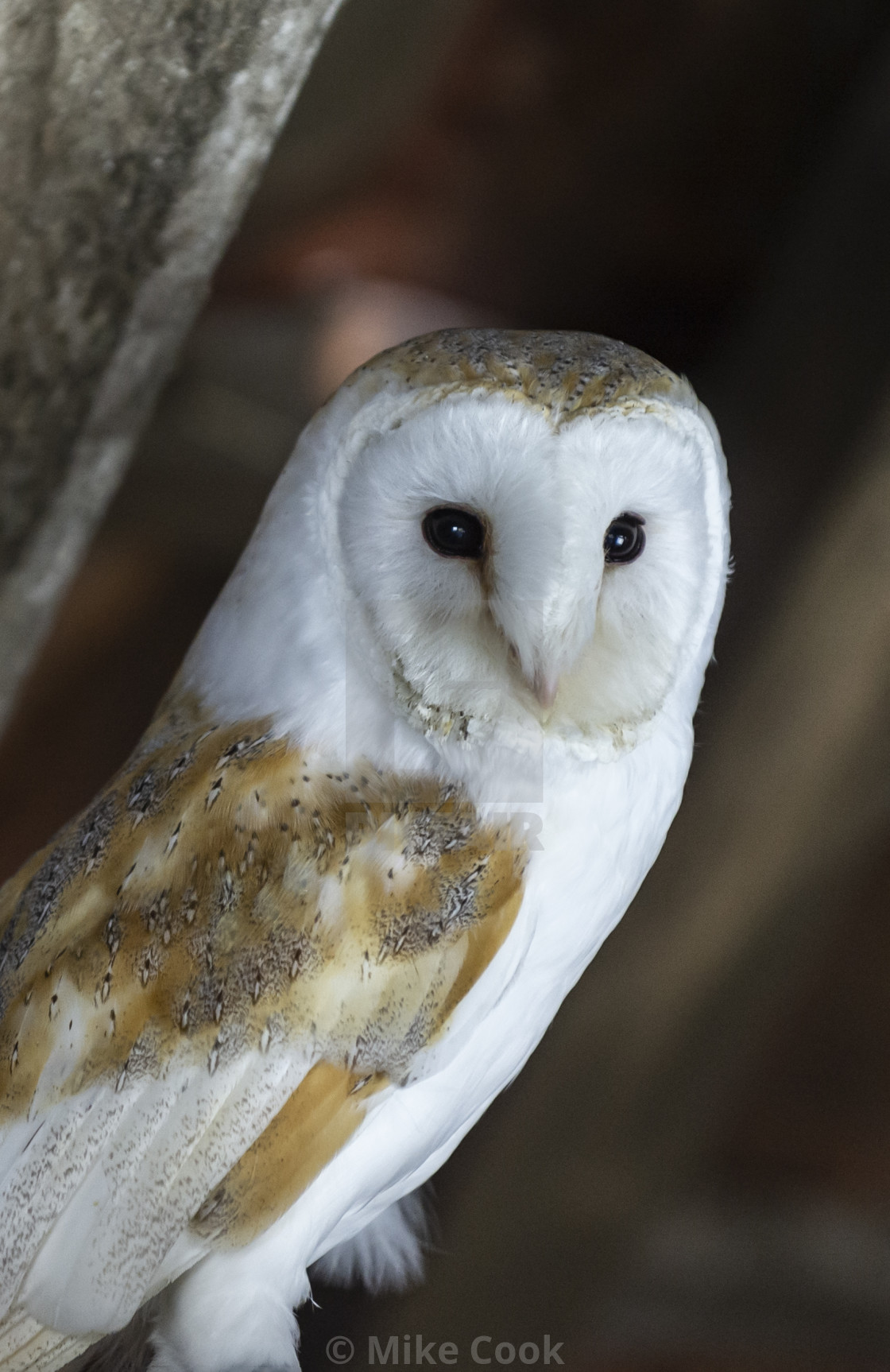 """""""Barn owl with a mouse."""" stock image"""