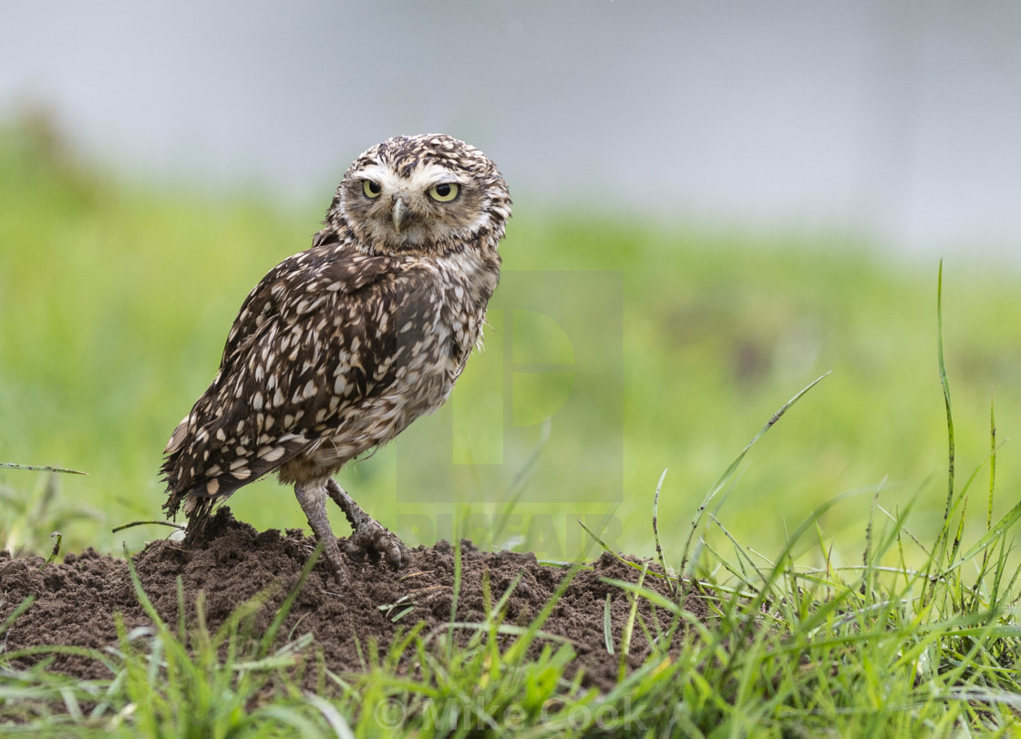 """The burrowing owl"" stock image"