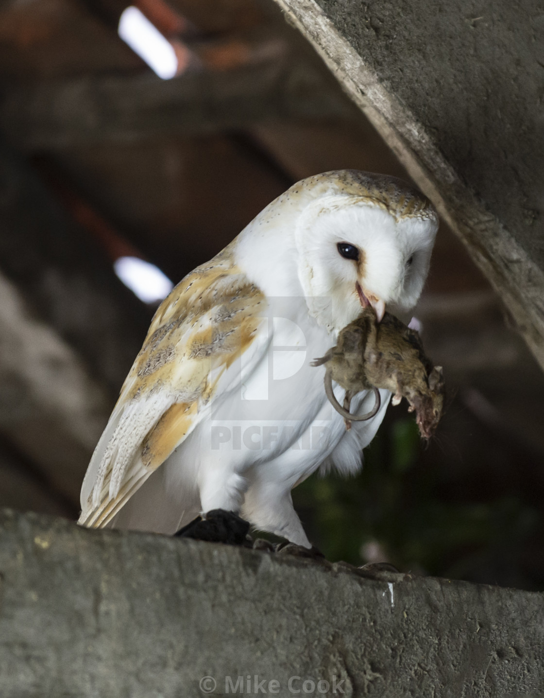 """Barn owl with a mouse."" stock image"