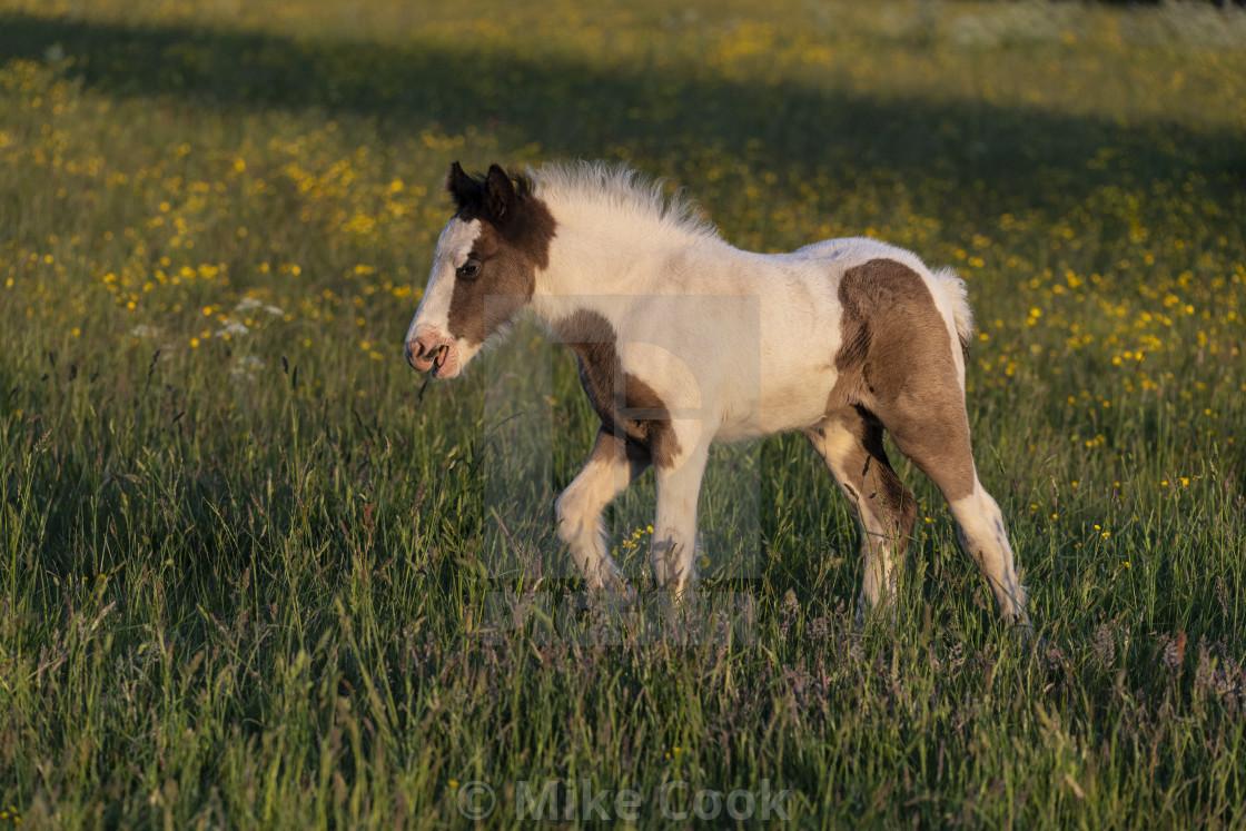 """Foal"" stock image"