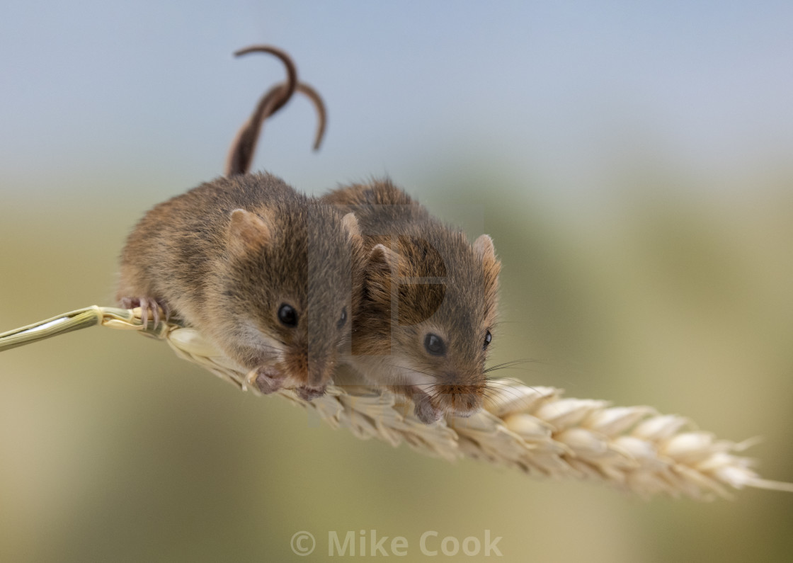 """Two Harvest Mice."" stock image"