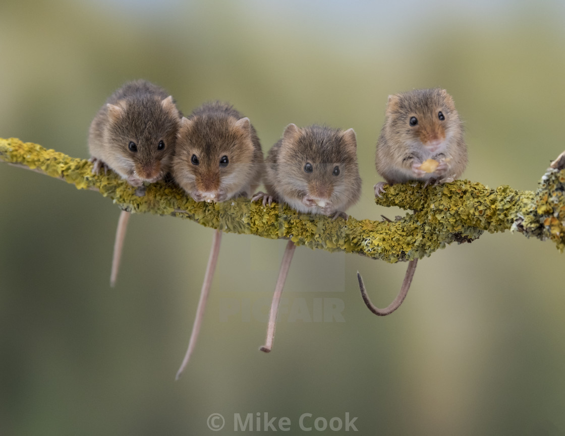 """Four Harvest Mice."" stock image"