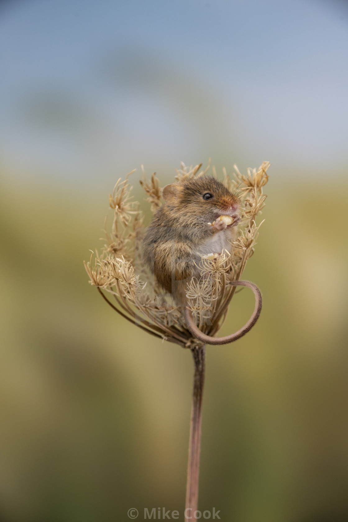 """A Harvest Mouse."" stock image"