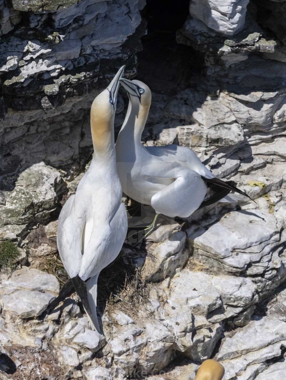 """Gannets mating"" stock image"