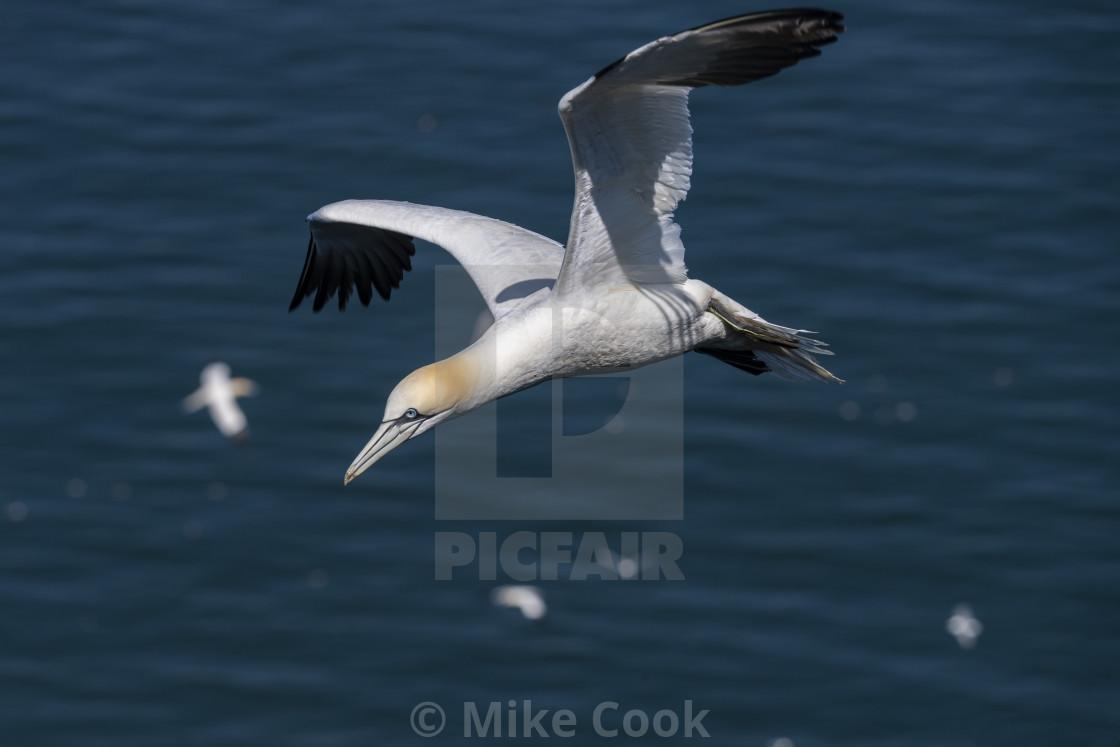 """Gannet in flight"" stock image"