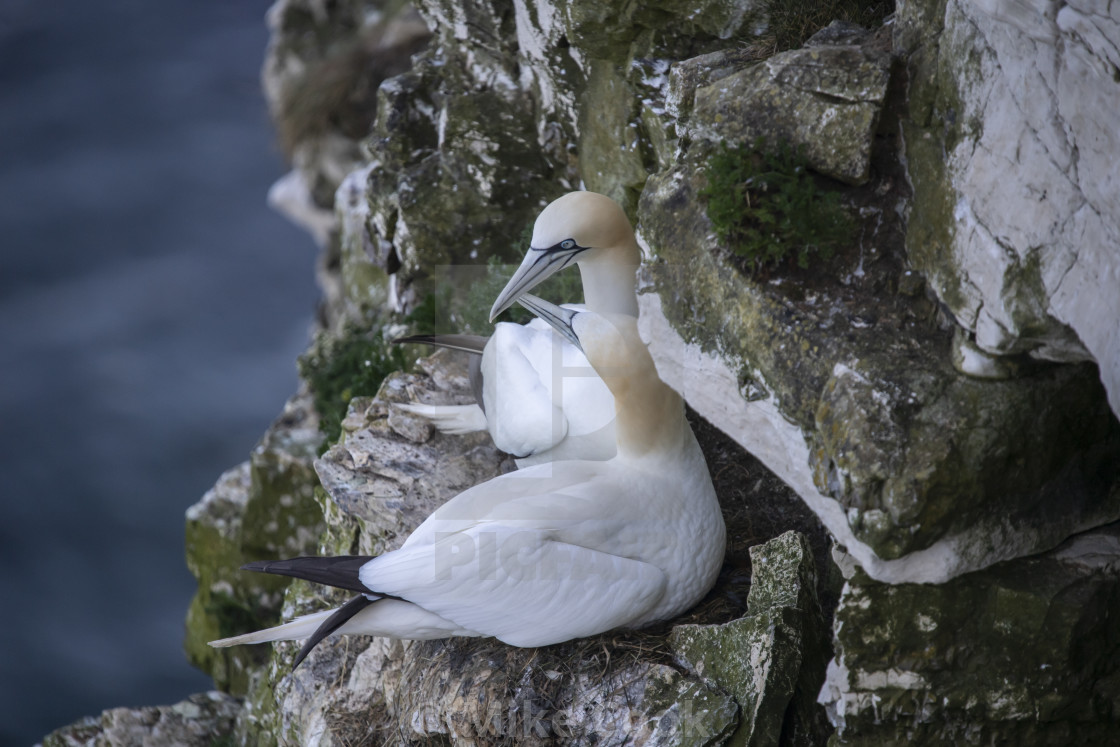 """""""Gannets mating"""" stock image"""