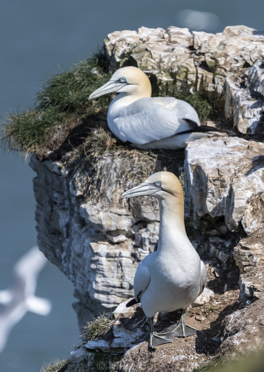 """Gannets on their nest."" stock image"