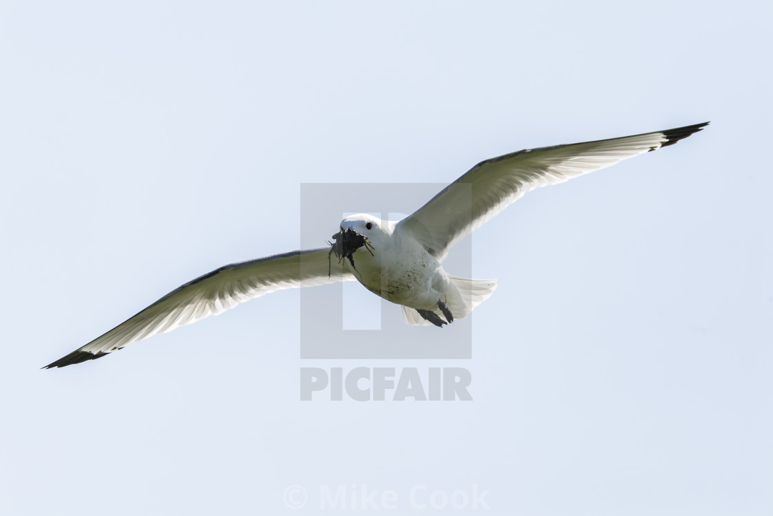 """Gull with nesting material."" stock image"