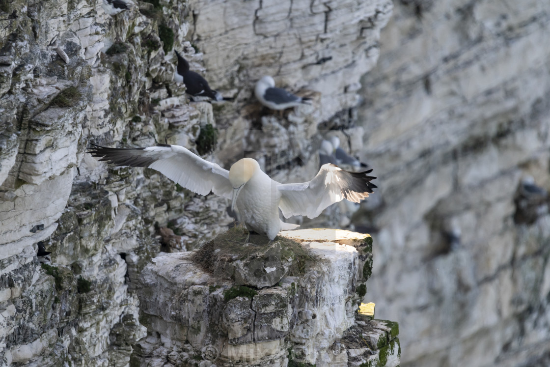 """Gannet with an egg in it's nest."" stock image"