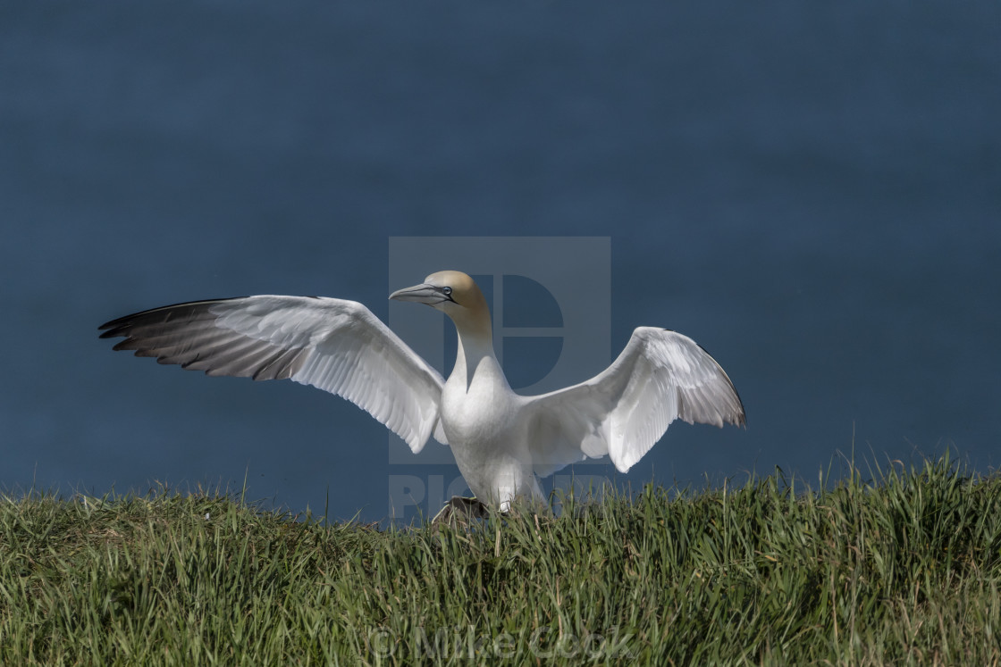 """Gannet coming into land on the cliff top."" stock image"