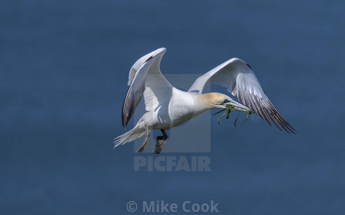 """""""Gannet in flight with nesting material."""" stock image"""