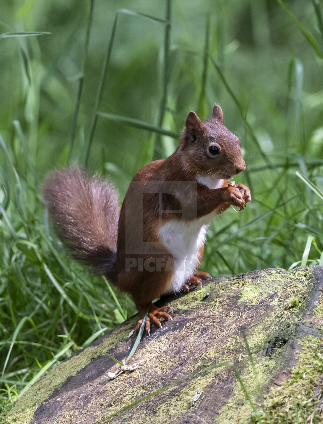 """Yorkshire Dales Red Squirrel."" stock image"