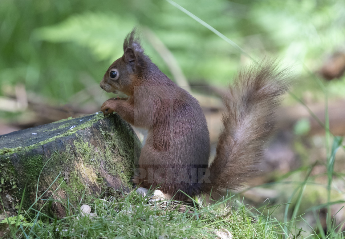 """""""Yorkshire Dales Red Squirrel."""" stock image"""