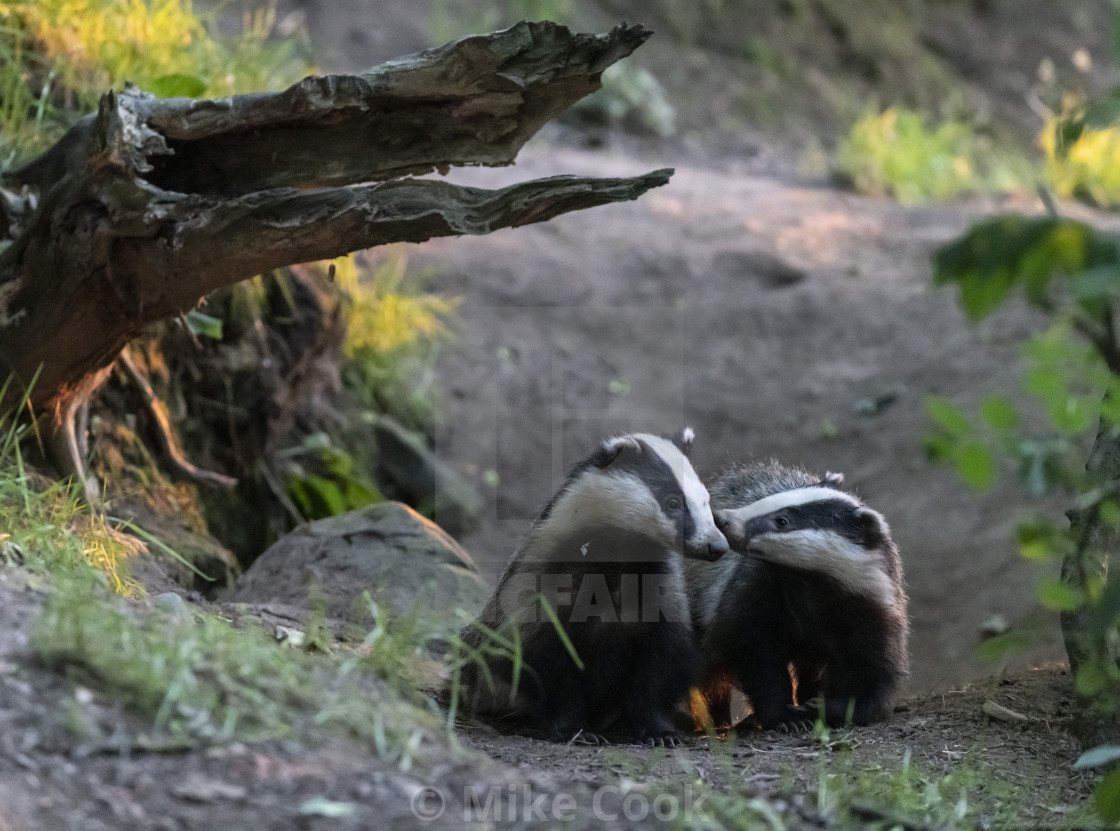 """Badgers at play"" stock image"