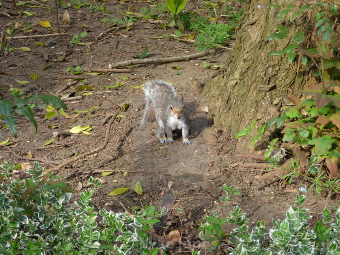 """""""Grey squirrel facing camera"""" stock image"""
