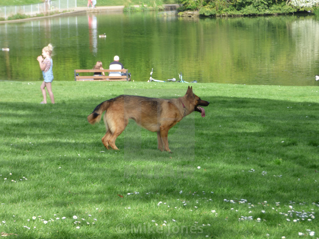 """German Shepherd dogin the park - side view"" stock image"