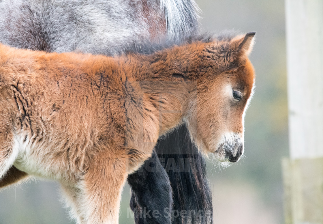 """Carneddau pony foal"" stock image"